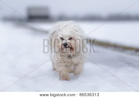 Havanese In The Snow