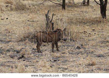 Warthog, Tanzania