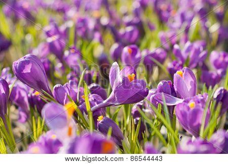 Spring ?rocuses