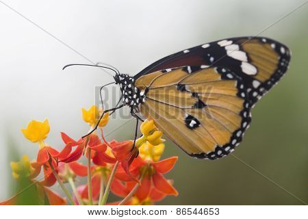 Danaus Plexippus Monarch butterfly