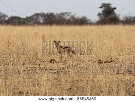 African Jackal