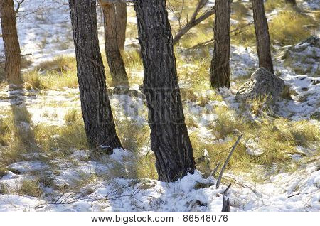 Pine Forest in Borja, Zaragoza Province, Aragon, Spain.