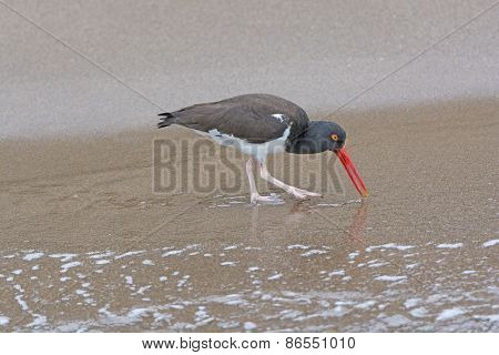 American Oystercatcher Searching For Food