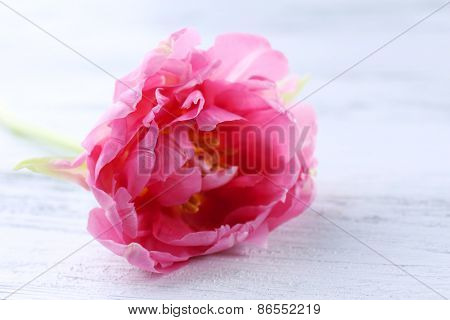 Pink tulip on wooden table, closeup