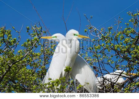 Great Egrets In The Wild