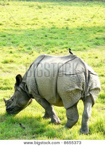 Wild White Rhino With Bird