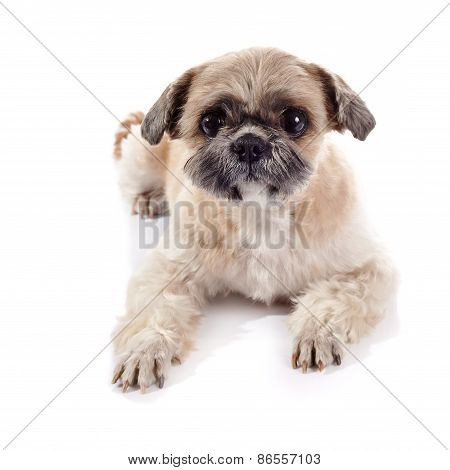 The Amusing Doggie Of Breed Of A Shih-tzu