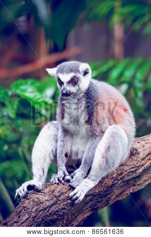 Beautiful ring-tailed lemur, lemur catta sitting on a log