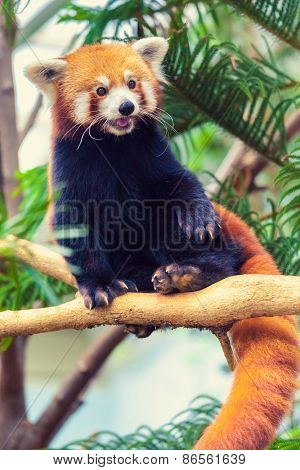 Red Panda sitting on a branch of a tree in zoo
