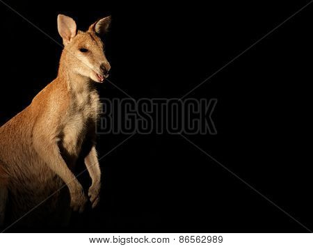 Agile Wallaby (Macropus agilis) on black, Australia