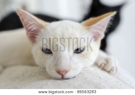 White Kitten  Blue Eyedlooking Closeup