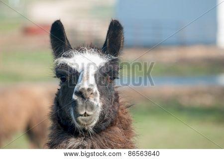 Lama Closeup