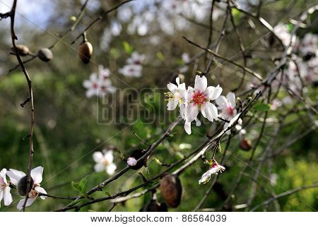 Almond Trees Blossom.