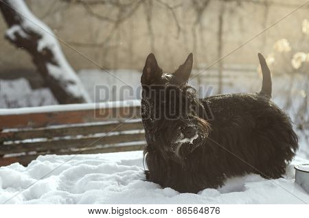 Scottish terrier in a beam of sunlight