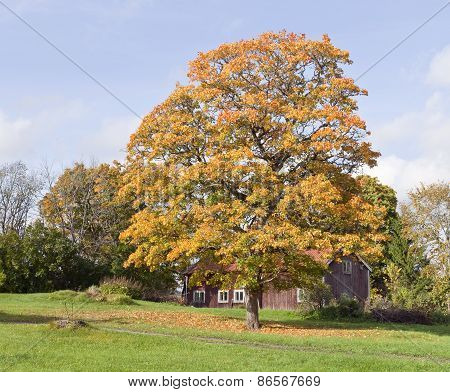 A red wooden cabin beyond a huge tree.