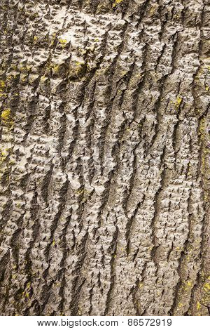 Bark Of White Poplar