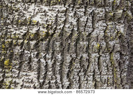 Part Of White Poplar Bark