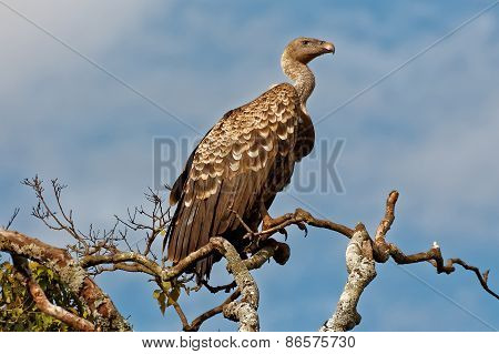 A Ruppell's (Ruppells) Griffon Vulture sitted on tall tree in masai mara