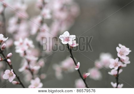 Delicate Pink Flowers Of The Peach Tree