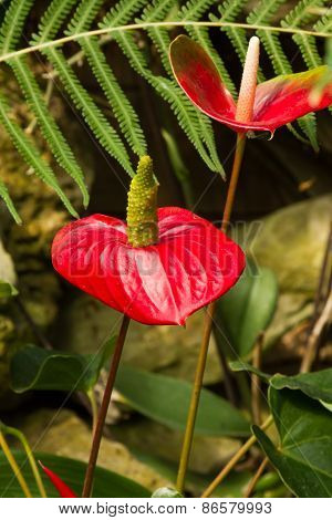 Red Anthuriums or Flamingo flowers