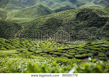 Tea Plantation In The Mountains