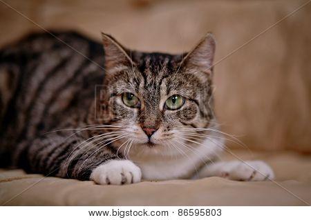 Portrait Of A Gray Striped Cat.