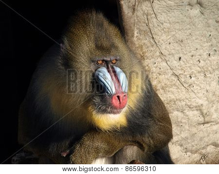 Close Up Of Mandrill