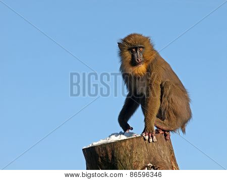 Mandrill On Wooden Log With Snow