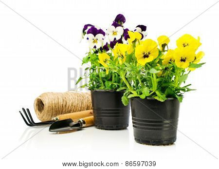 Colorful Pansies  In Pots With Garden Tools