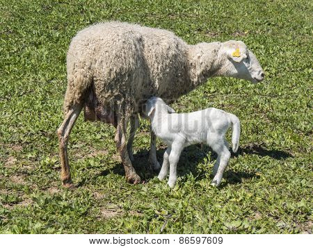 Corderito: Newborn lamb with his mother in a meadow