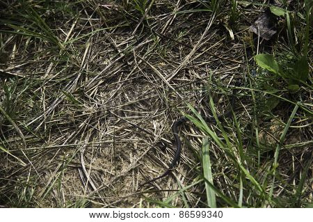 Snake hiding in grass