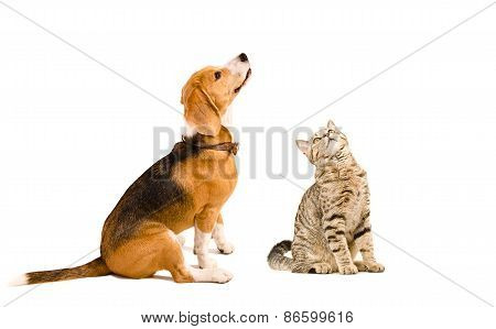 Funny beagle dog and a cat Scottish Straight