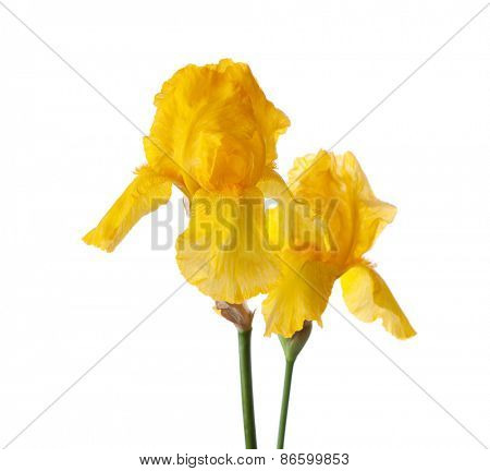 Two yellow flower isolated on a white background. Iris croatica