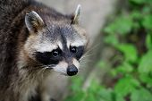 stock photo of nocturnal animal  - Raccoon in the forest in the natural environment - JPG