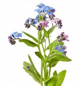 pic of forget me not  - Bouquet of spring flowers on a white background - JPG