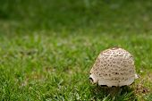 foto of fairy-mushroom  - Single mushroom on green grass in closeup - JPG