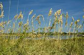 Sea Oats on Cedar Key