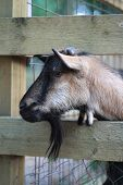 picture of animal cruelty  - Head of kid goat who stand in shelter - JPG