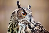 picture of rear-end  - Eagle Owl - JPG