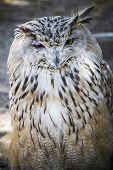 stock photo of snow owl  - Spanish owl in a medieval fair raptors - JPG