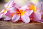 picture of frangipani  - Close up of pink frangipani - JPG