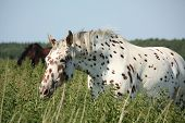 image of breed horse  - Portrait of knabstrupper breed horse  - JPG