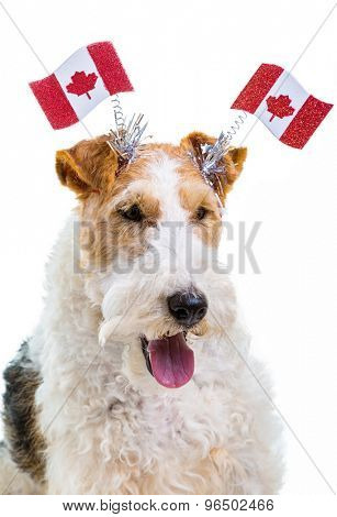 Wire fox terrier dressed to celebrate Canada Day.