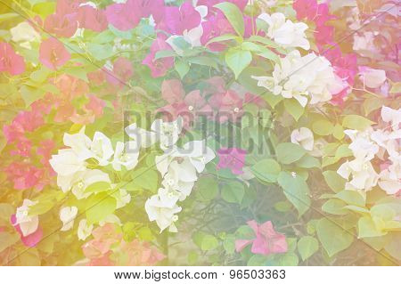 White And Pink Bougainvillea Or Paper Flower Soft Style