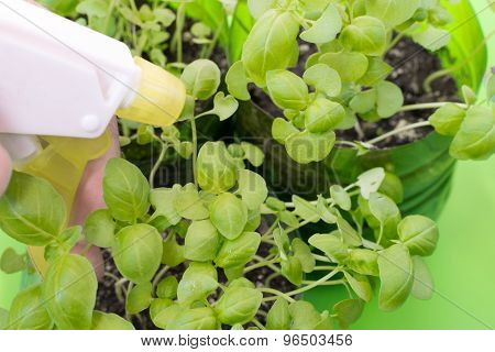 Spraying Fresh Green Basil Leaves