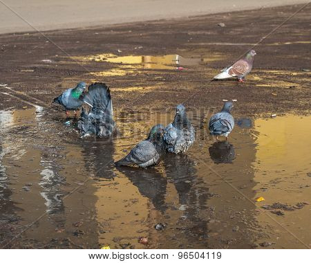 Pigeons Swimming In Puddle