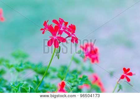 Red Pelargonium (geranium) Flower, Blooming In A Garden