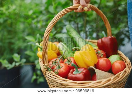 Basket full of fresh tomatoes, cucumbers and peppers held by farmer