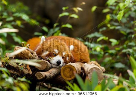 Red panda sleeping on the tree