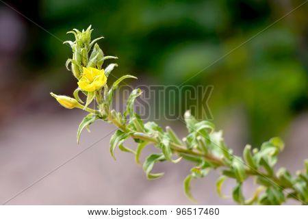 Yellow Oenothera